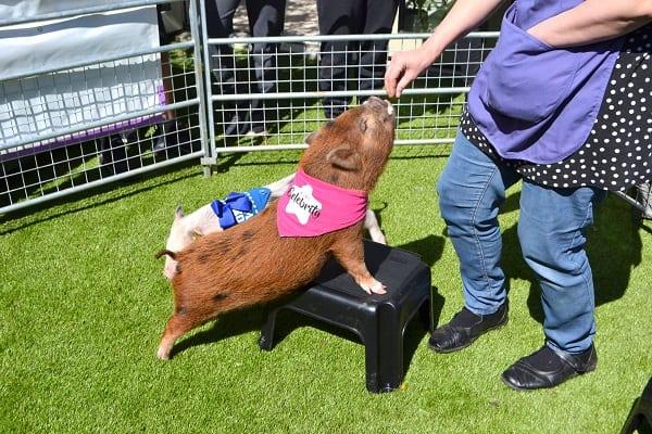 micro pig ella performing tricks in london