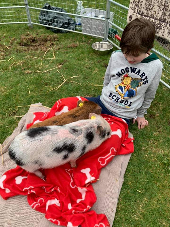 micro piglets Ella and Miracle cuddling on a child's lap