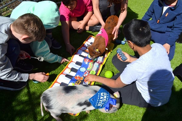 micro pigs ella and miracle at a children's party in london uk