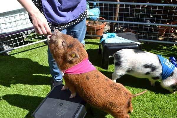 miniature piglet ella doing tricks at a London Children's Party