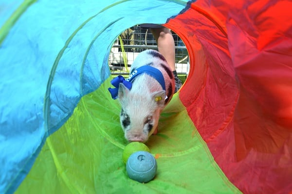 miniature piglet miracle in a play tunnel at a children's party in london