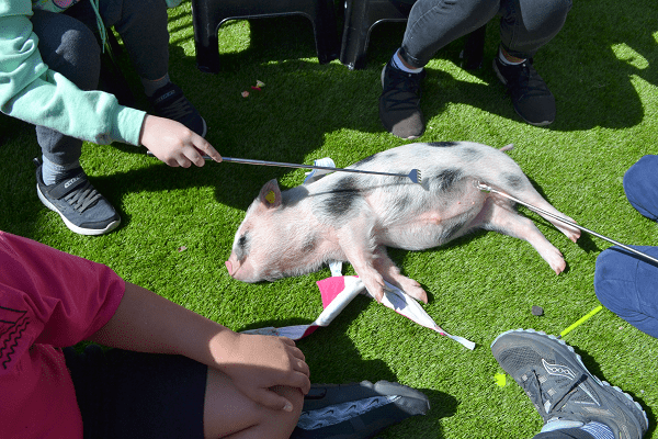 miniature piglet miracle relaxing at a party in london UK