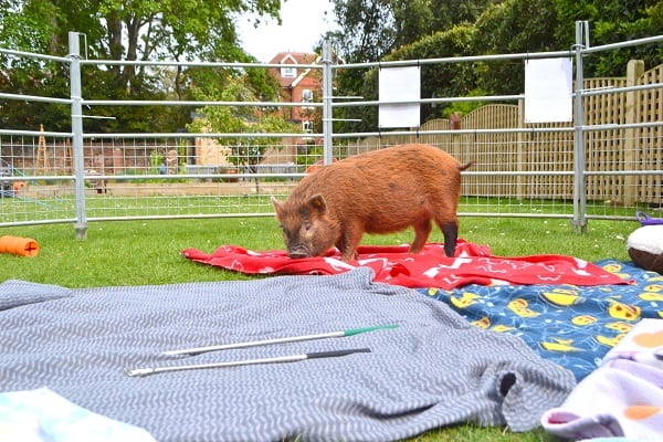 Miniature Pig Ella at a childrens' Birhtday Party in Sussex