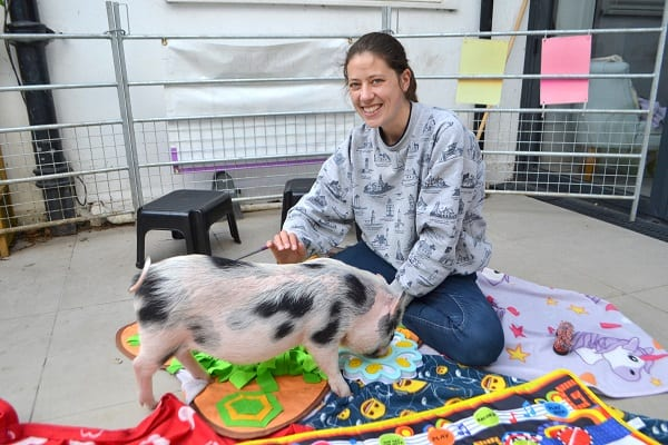 Miniature Pig Miracle cuddles in London