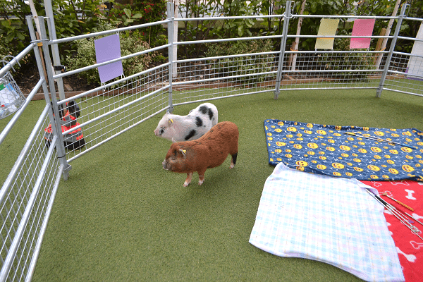 micro pigs miracle and ella on a school visit in london