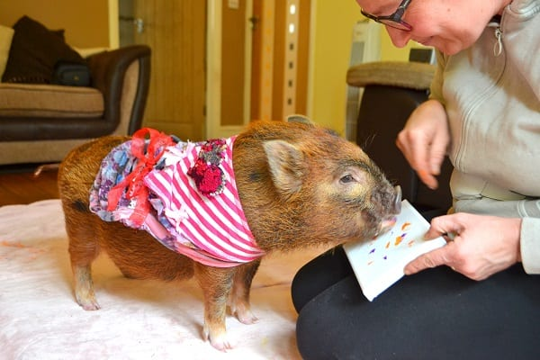 miniature pig Ella painting with her snout in Surrey