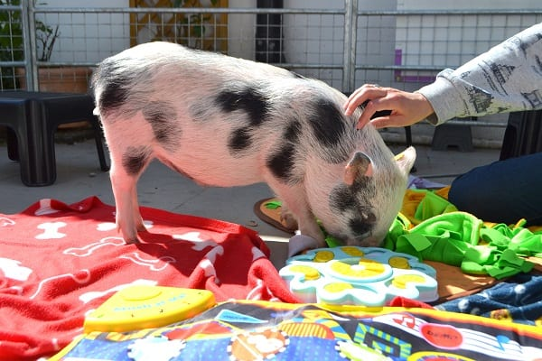miniature pig Miracle enjoying his special visit in London