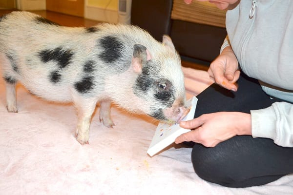 miniature pig miracle painting with his snout in London
