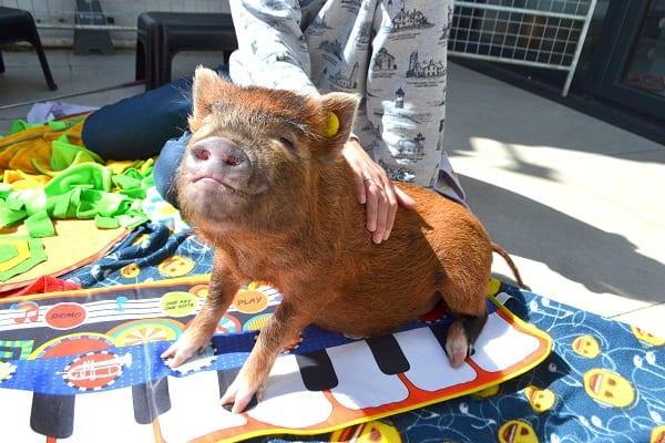 miniature piglet Ella enjoying sunshine and cuddles in London