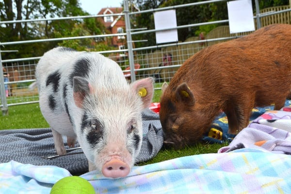 Miniature pigs Miracle and Ella