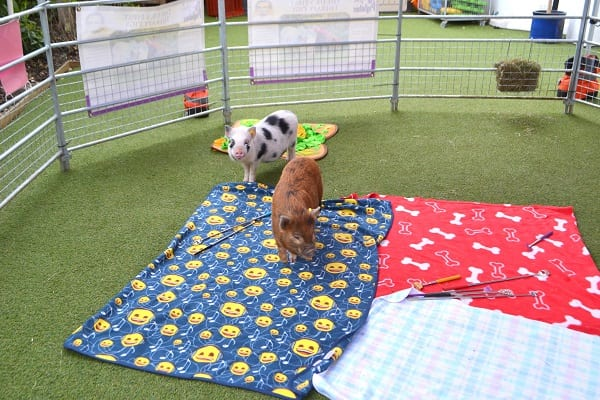 miniature pigs ella and miracle waiting for children to arrive at a London school