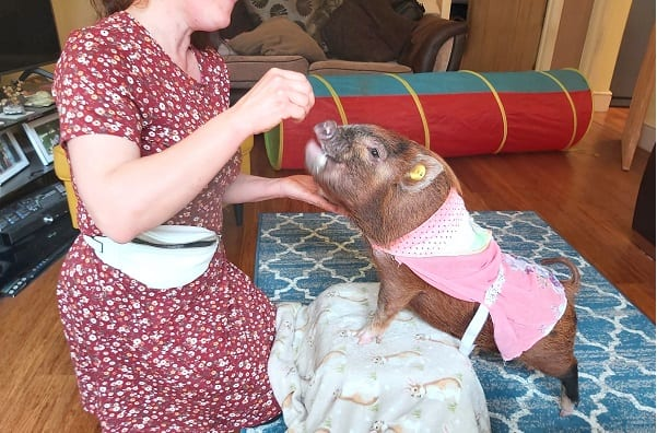 training miniature pig ella in london
