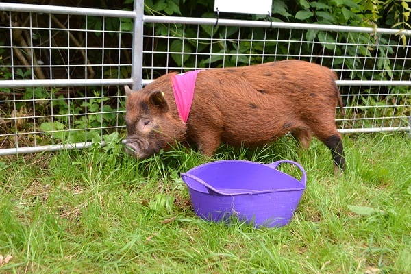 miniature pig Ella at a child's birthday party in kent
