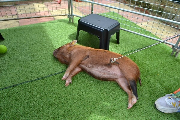 miniature pig ella relaxing at a party in london
