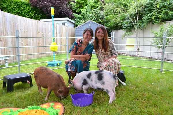 Birthday Party with Miniature Pigs Ella and Miracle in Berkshire