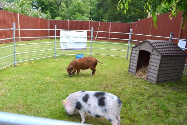 Borrow My Piggy with Miniature Pigs Miracle and Ella in Epsom Surrey