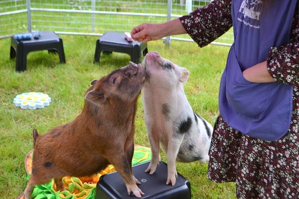 Intelligent pigs Miracle and Ella in London UK