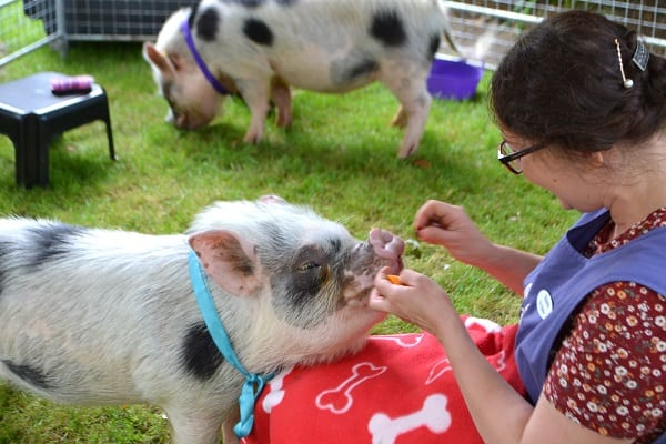 Mini Pig Popcorn training at a party in London