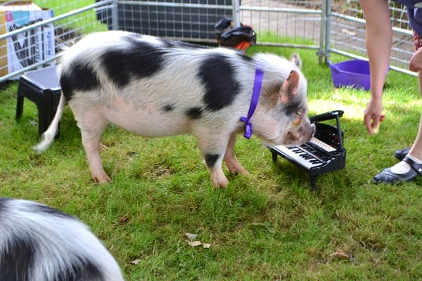 Miniature Pig Biscuit playing piano in London