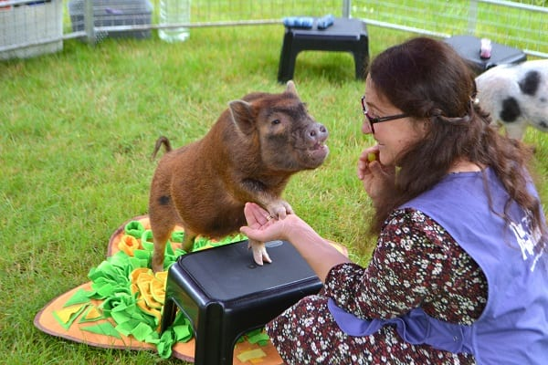 Miniature Pig Ella giving her trotter