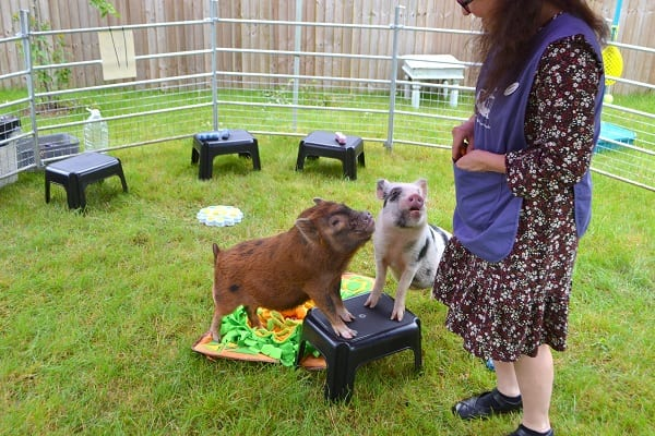 Miniature Piglets Miracle and Ella doing some tricks in Berkshire
