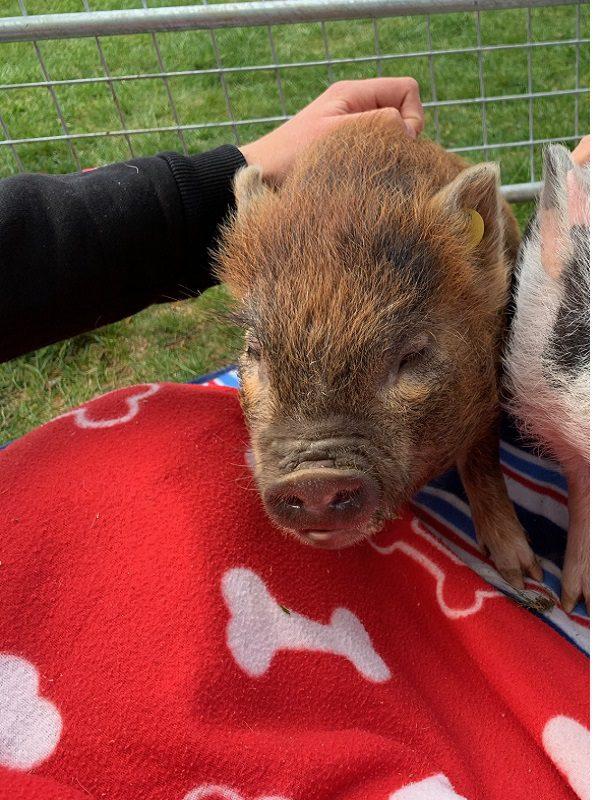 Miniature Pig Ella in May 2021
