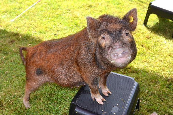 beautiful piglet Ella