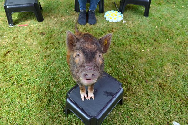 miniature pig Ella standing on a stool at a party in London