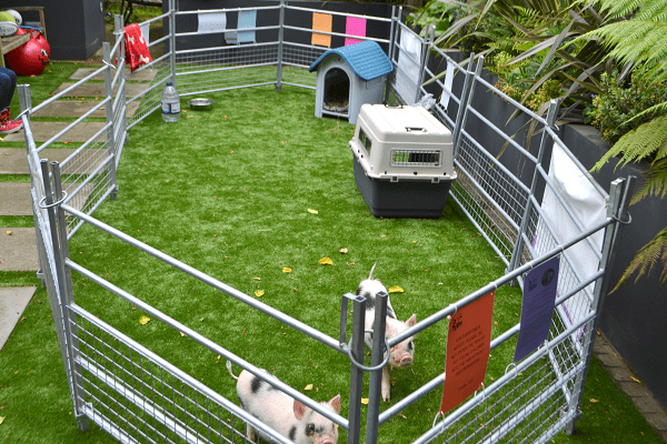 rent a pig for a day in uk