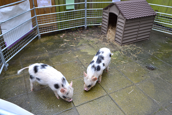 borrow a pig for a day uk