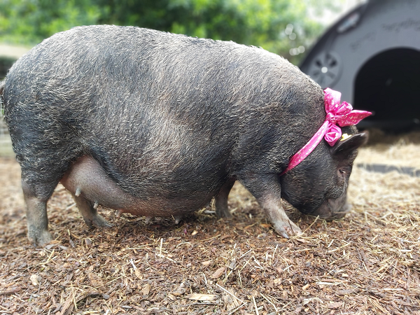 Miniature pig Connie, our breeding sow