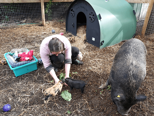 Miniature Pig Connie with her piglets at The Pigfather ltd UK