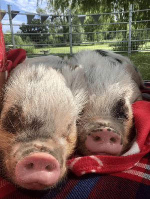 Miniature Pigs Biscuit and Popcorn lying on a blanket during borrow my piggy visit