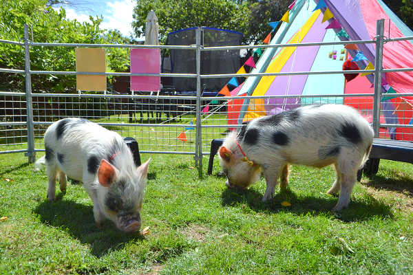 Miniature pig party with biscuit and popcorn