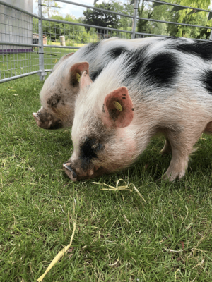grazing miniature pigs during borrow my piggy visit to suffolk