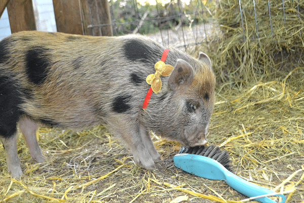 a beautiful miniature piglet with a bow pigs as pets