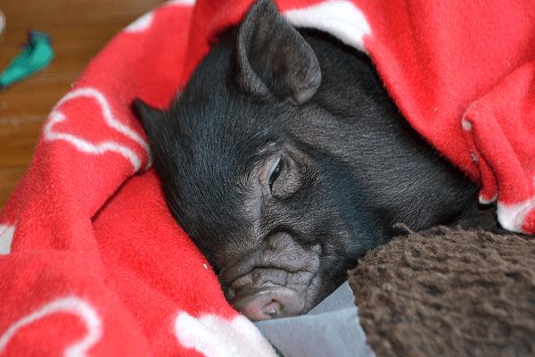 cute miniature piglet uk