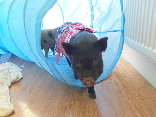 a black miniature piglet in a play tunnel near london