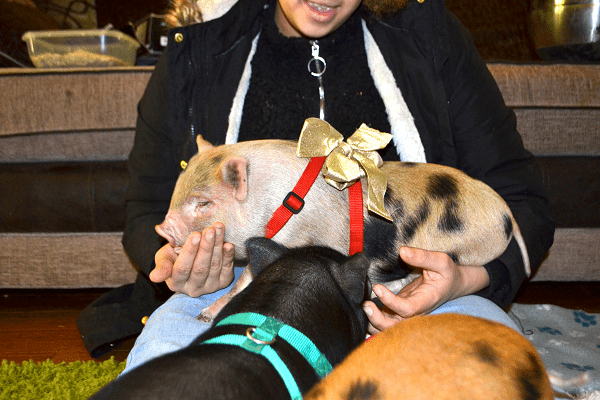 miniature pigs as pets commonly asked questions housing requirements