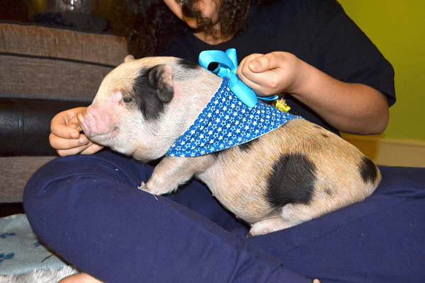 benefits of therapy pigs