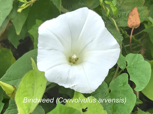 bindweed plant poisonous to pigs