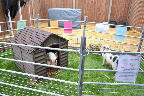 borrow a piglet experience uk