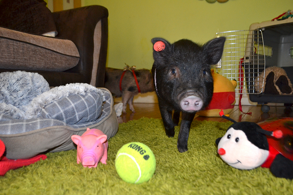 black miniature piglet as a pet in a house
