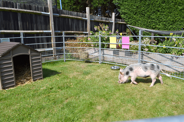 borrow a pig for a day experience in surrey