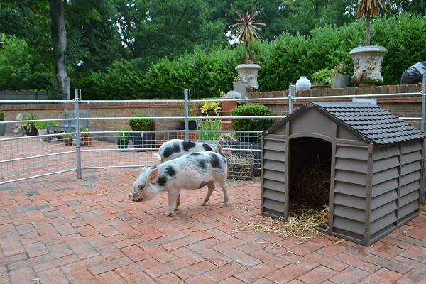 borrow a pig for a day experience in sussex