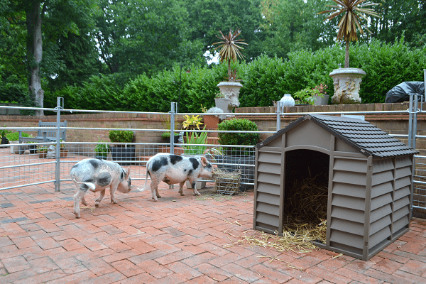 borrow a pig experience in sussex
