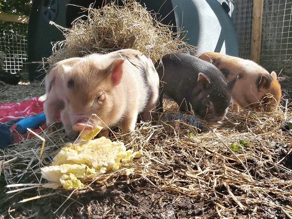 cute micro pigs exploring their surroundings