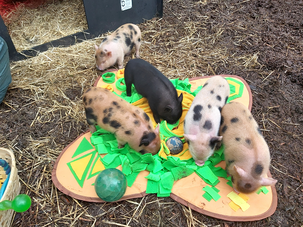 five miniature piglets on a playing mat uk