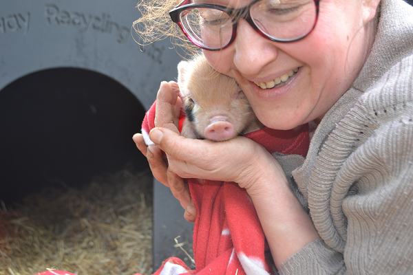 ginger spot miniature piglet in the uk