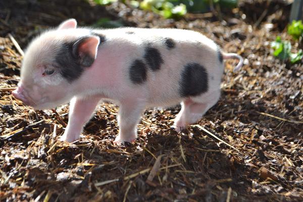 little piglets for sale near london